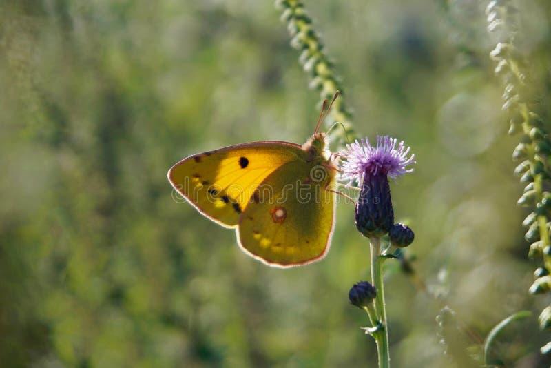 在蓟花的苍白被覆盖的黄色 免版税库存照片