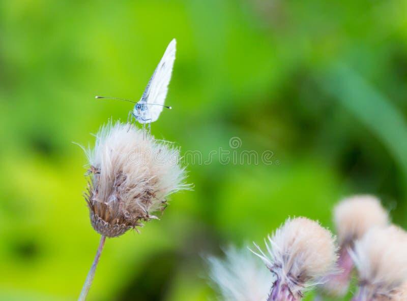 在蓟头的大白色蝴蝶 免版税图库摄影