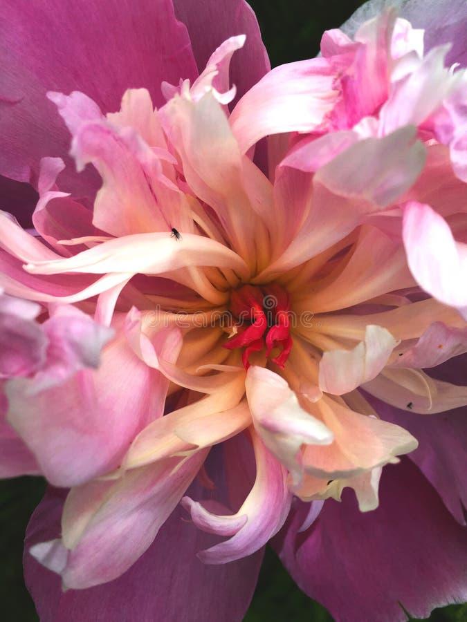 在蓬松桃红色牡丹花的接近的看法 库存照片