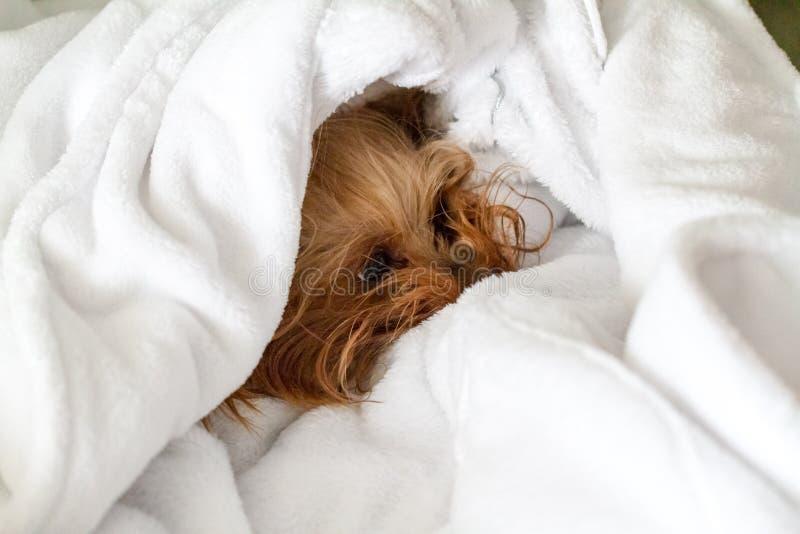 在蓬松白色毛巾包裹的小狗狗 图库摄影