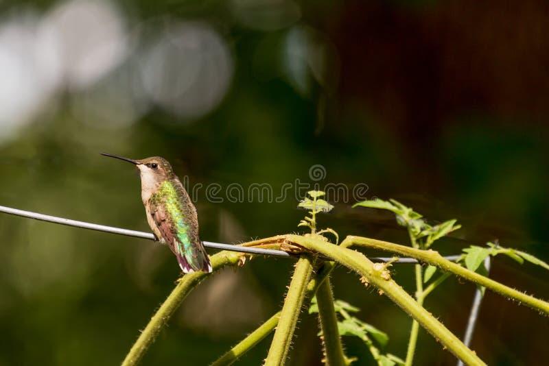 在蕃茄笼子的一只红宝石红喉刺莺的蜂鸟在后院 免版税图库摄影