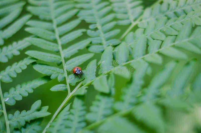 在蕨的瓢虫 免版税库存照片