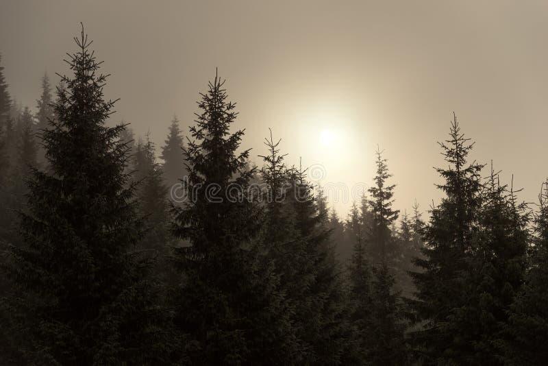 在薄雾的云杉 免版税库存图片