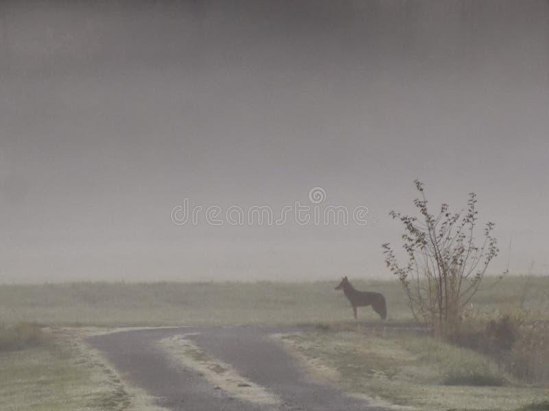 在薄雾的土狼 免版税库存图片
