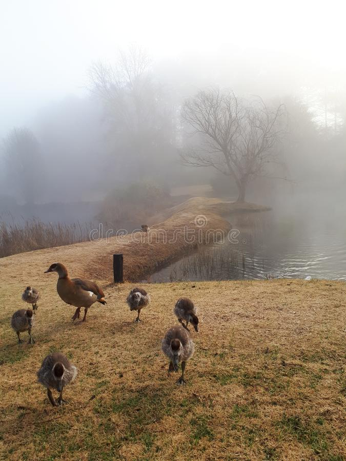 在薄雾的埃及鹅 库存照片