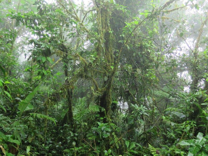在薄雾的密林雨林在中美洲 免版税库存照片
