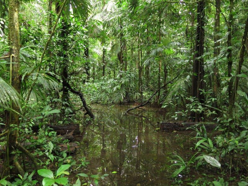 在薄雾的密林雨林在中美洲 库存照片