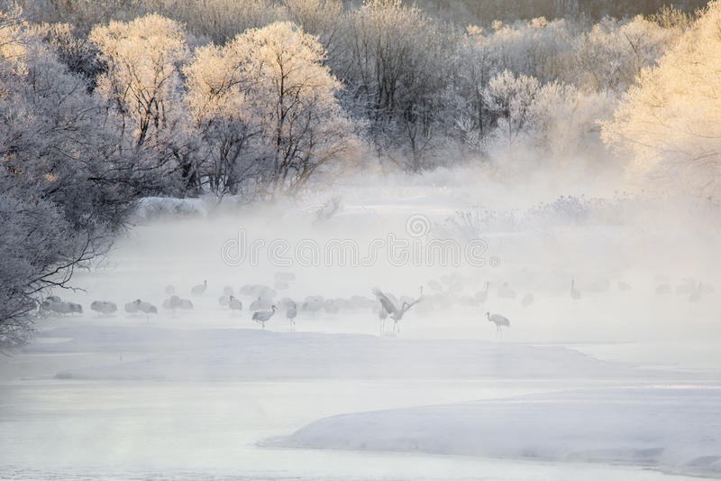 在薄雾的起重机:典雅的起重机舞蹈在水中 免版税图库摄影