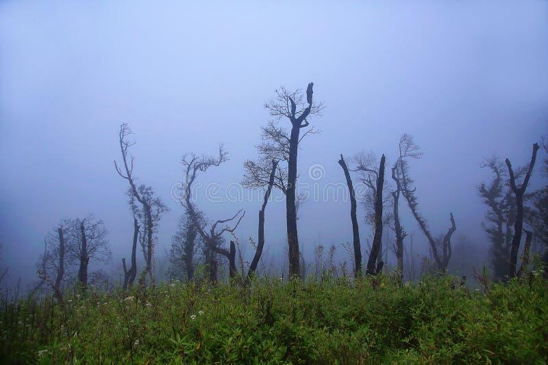 在薄雾Dzukou谷的贫瘠树 那加兰邦和曼尼普尔邦,印度状态的边界  免版税图库摄影
