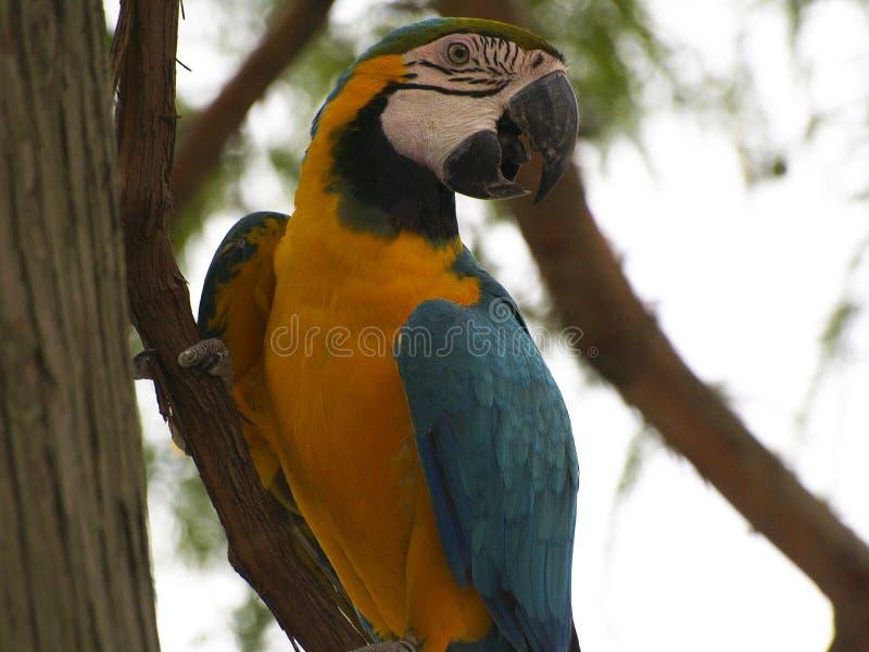 在藤的一只青和黄色金刚鹦鹉 库存图片