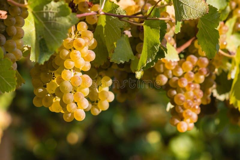 在藤的夏敦埃白酒葡萄 免版税图库摄影