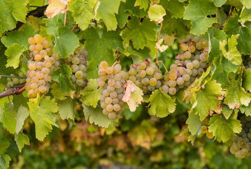 在藤的夏敦埃白酒葡萄 库存图片