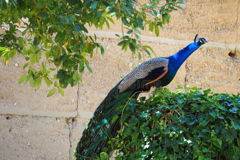 在藤的孔雀,莱里达省 免版税图库摄影