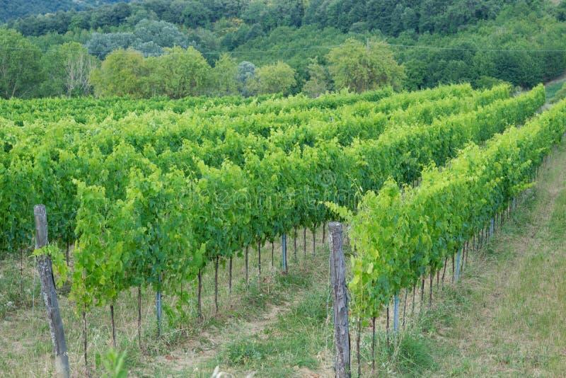 在藤的成熟葡萄酒在托斯卡纳,意大利 美丽如画的酒fa 库存照片