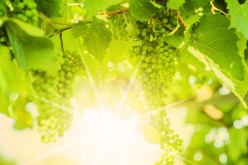 在藤的新鲜的绿色葡萄。 Defocus 免版税库存图片