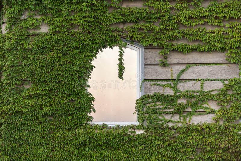 在藤的窗口在墙壁上 库存图片