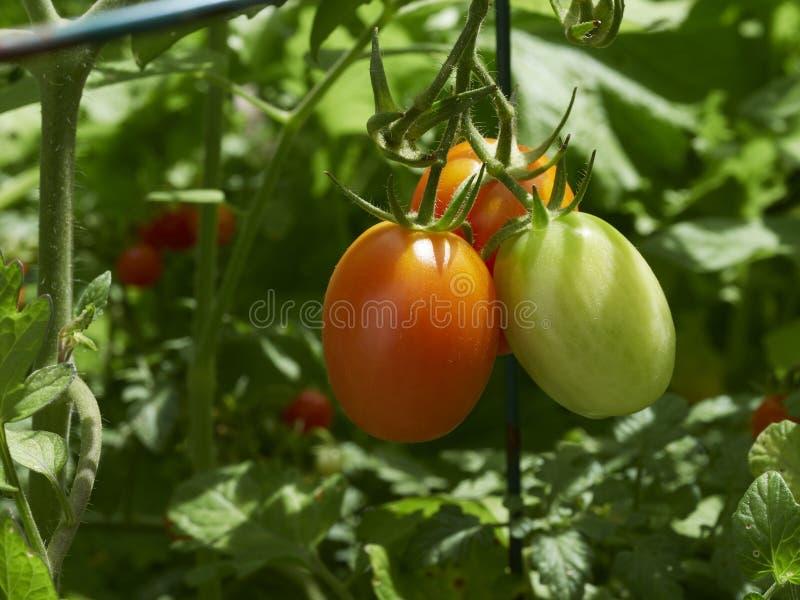 在藤的绿色和红色蕃茄在庭院里 免版税库存图片