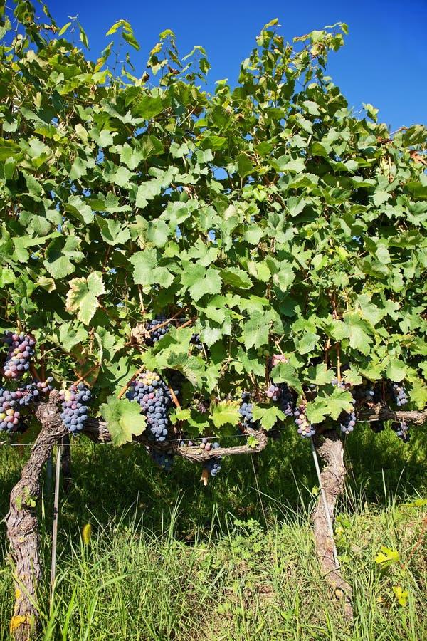 在藤的蓝色葡萄在有机葡萄园里 山麓,意大利 免版税库存照片