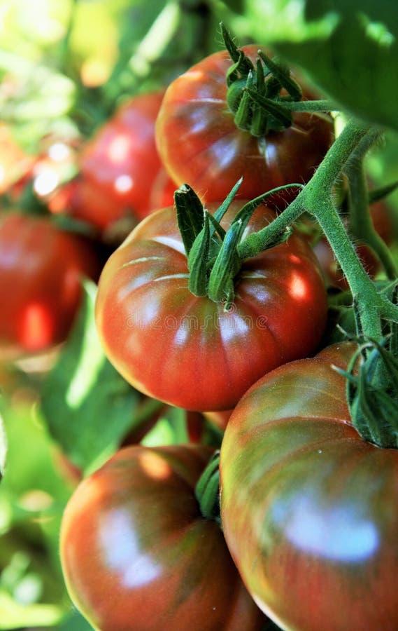 在藤的蕃茄在有机菜园里 库存图片