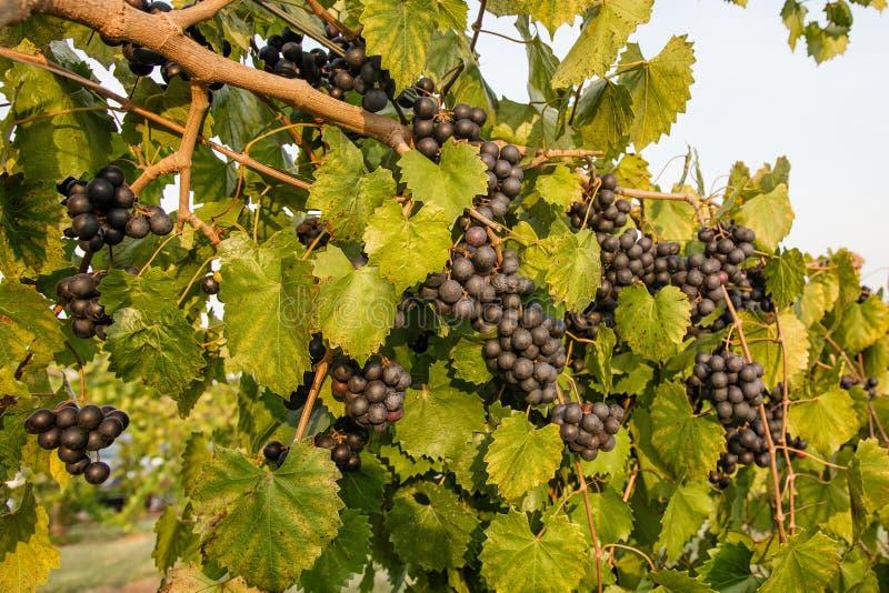 在藤的紫色圆叶葡萄葡萄 免版税库存照片