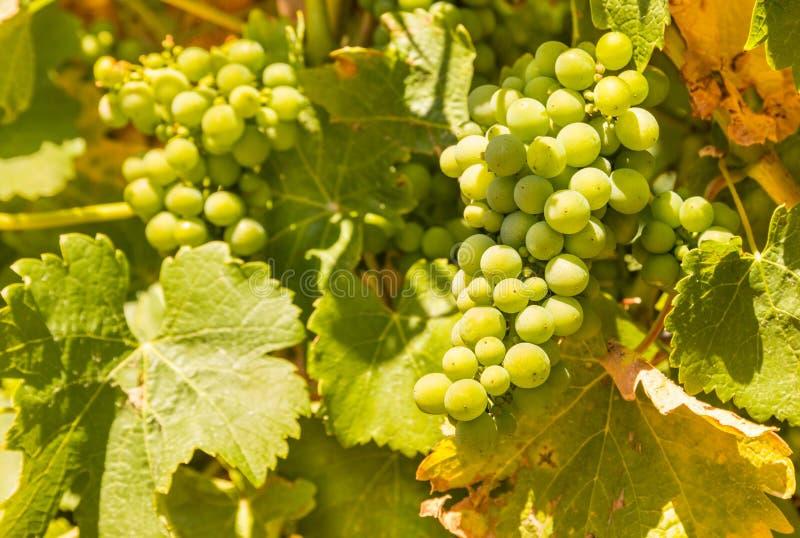 在藤的绿色葡萄在葡萄园里 免版税库存照片