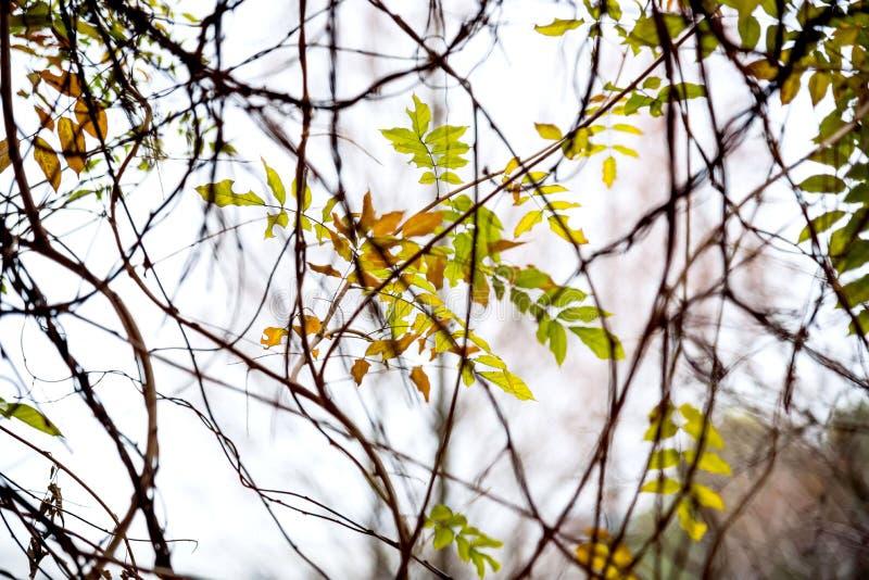 在藤背景的红色和绿色常春藤叶子 库存图片