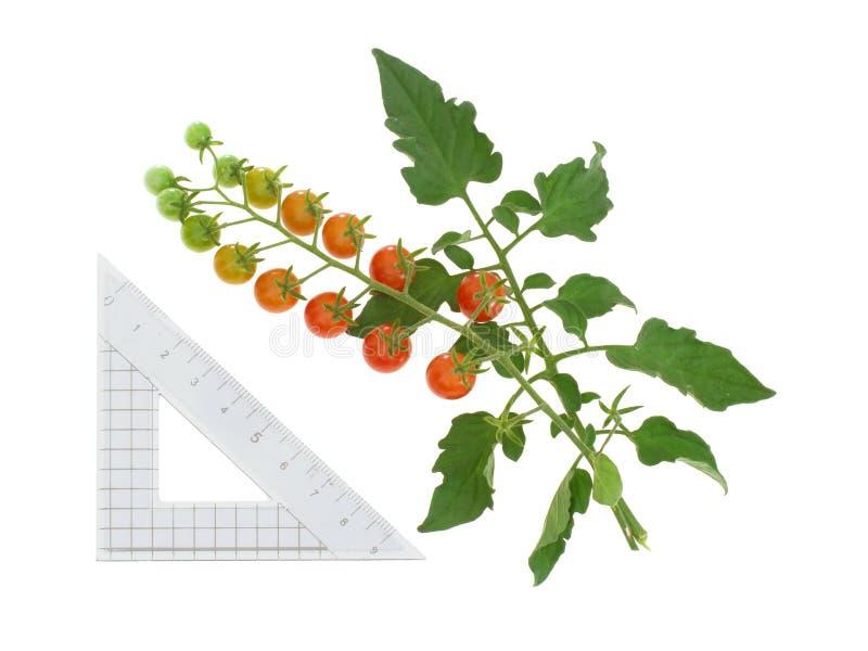 在藤,茄属pimpinellifolium的微小的红色蕃茄群 查出在白色 centimtre标度 免版税库存照片