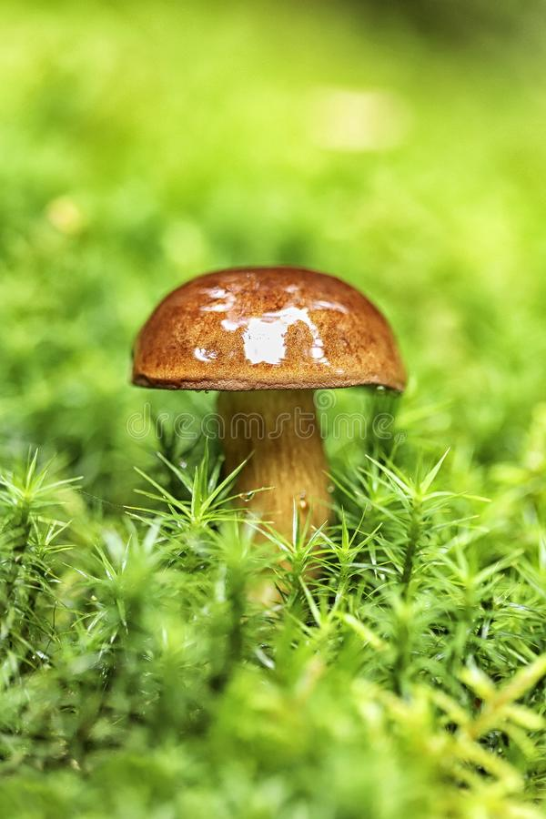 在蘑菇的细节在草 免版税库存照片