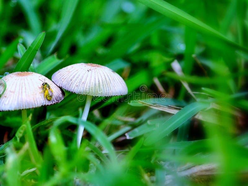 在蘑菇的蜂 库存照片