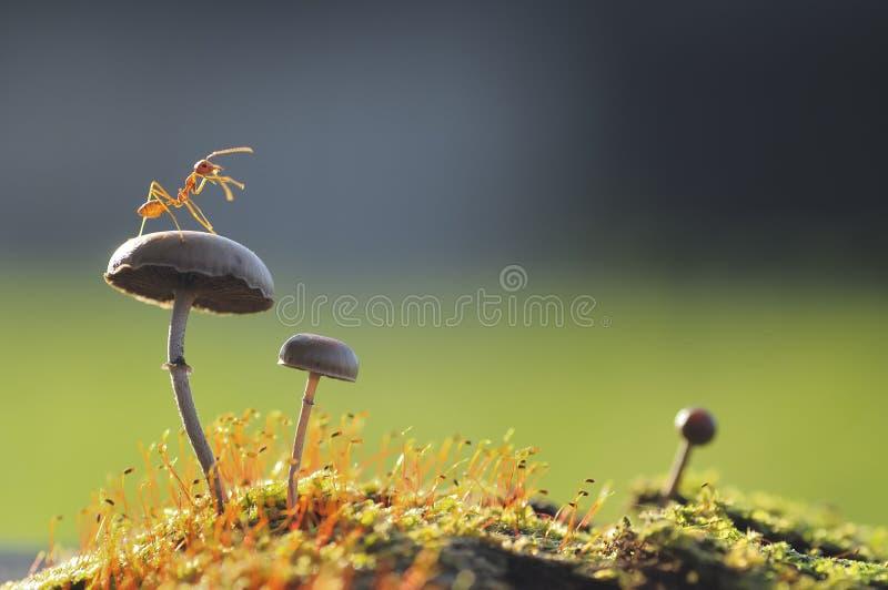 在蘑菇的织布工蚂蚁 库存照片