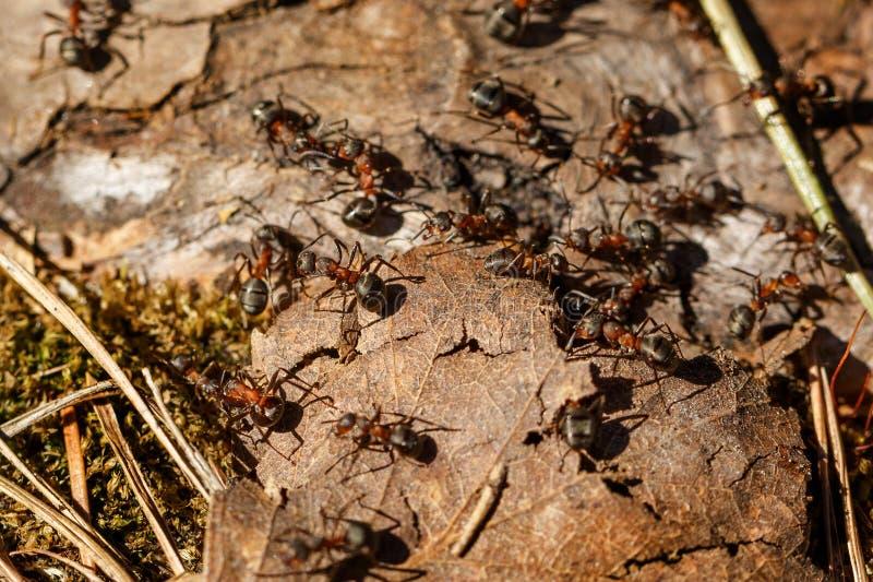 在蚁丘特写镜头的蚂蚁 库存图片