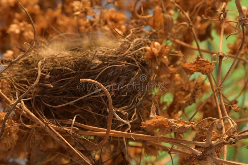 在蛇麻草丛林的空的鸟` s巢  免版税库存图片