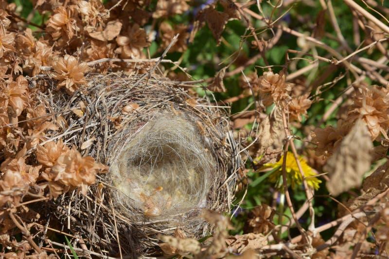 在蛇麻草丛林的空的鸟` s巢  库存图片
