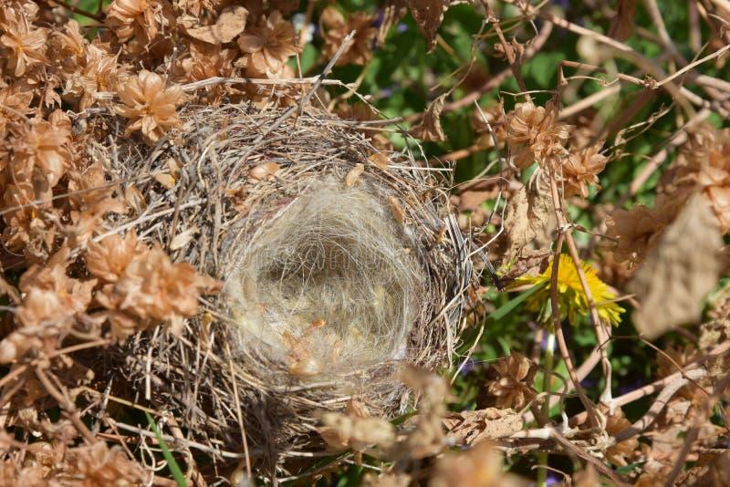 在蛇麻草丛林的空的鸟` s巢  免版税图库摄影