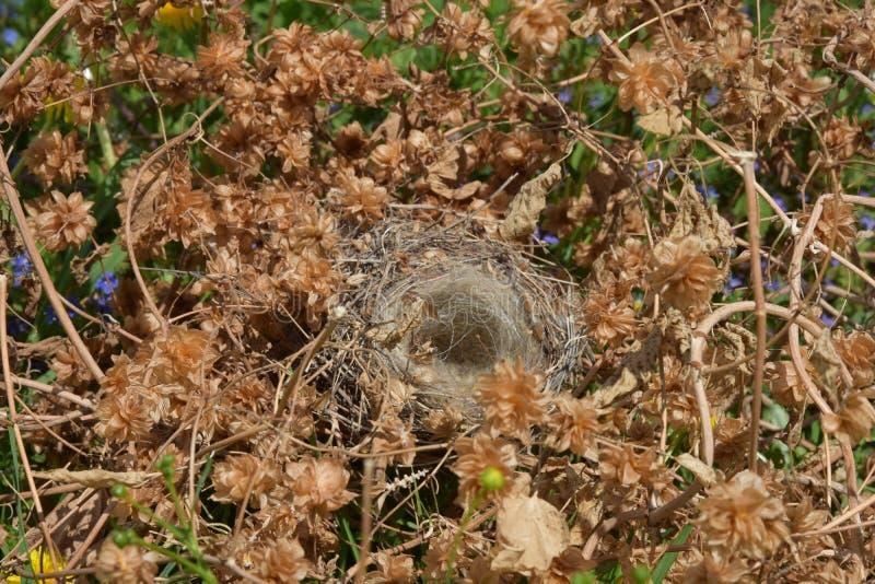 在蛇麻草丛林的空的鸟` s巢  库存照片