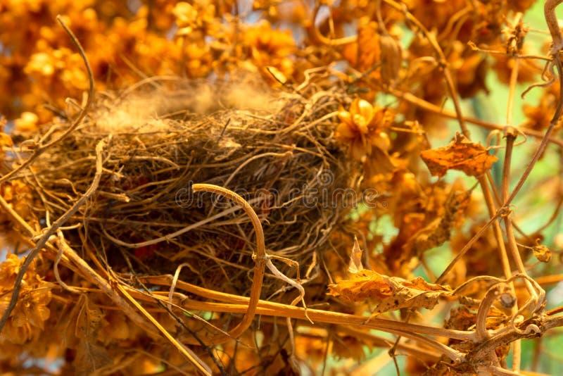 在蛇麻草丛林的空的鸟` s巢  免版税库存照片