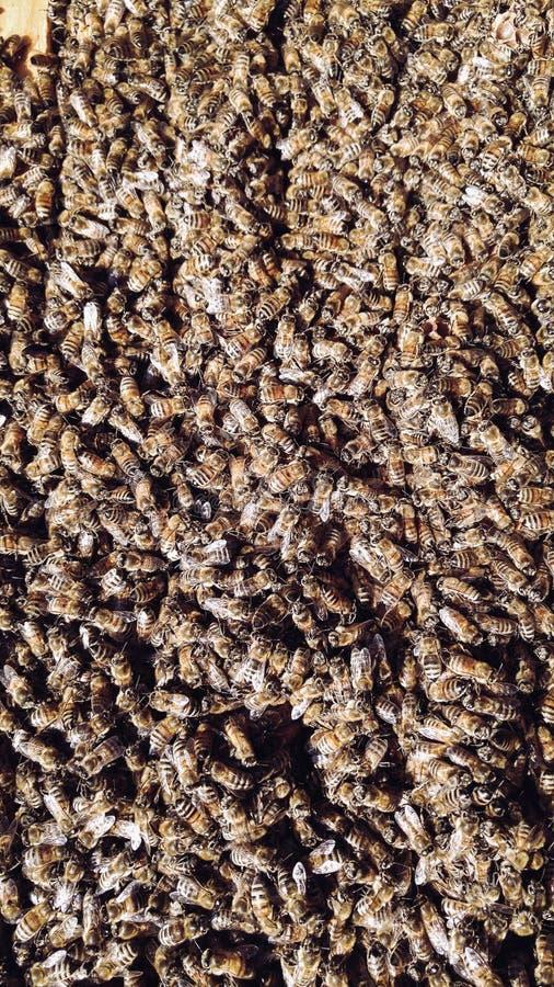 在蜂房的蜂蜜蜂 库存图片