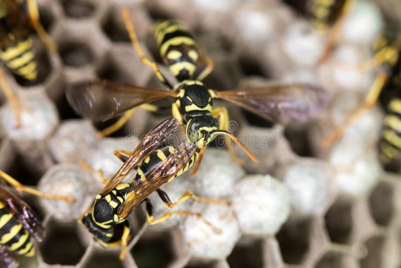 在蜂房的黄蜂 关闭 库存图片