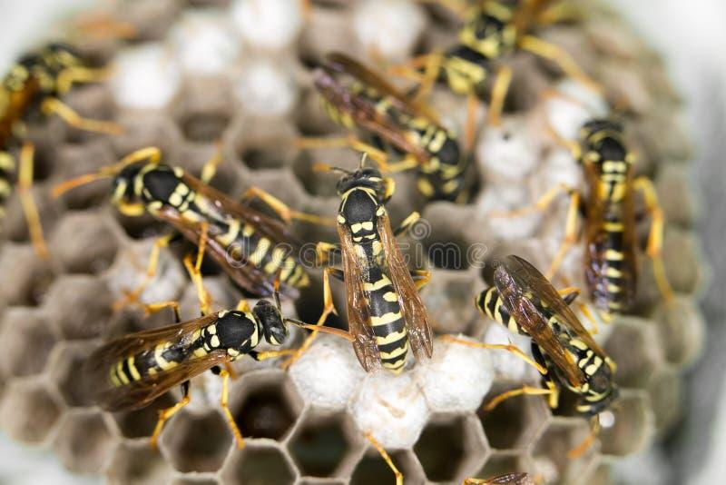 在蜂房的黄蜂 免版税图库摄影