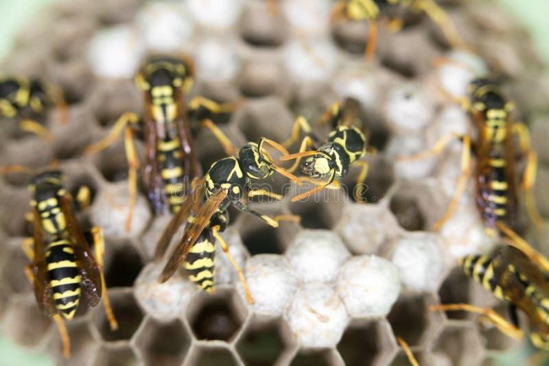 在蜂房的黄蜂 免版税库存图片