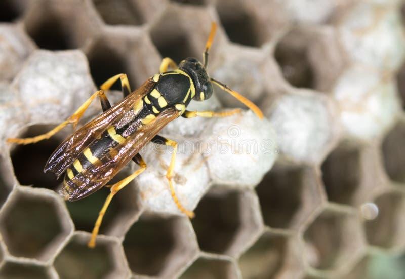 在蜂房的黄蜂 库存照片