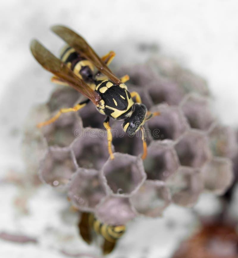 在蜂房的黄蜂 关闭 图库摄影