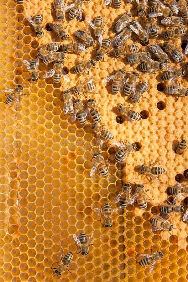 在蜂房里面的辛劳者与他们的年轻人的被密封的细胞. 几何, 膳食.