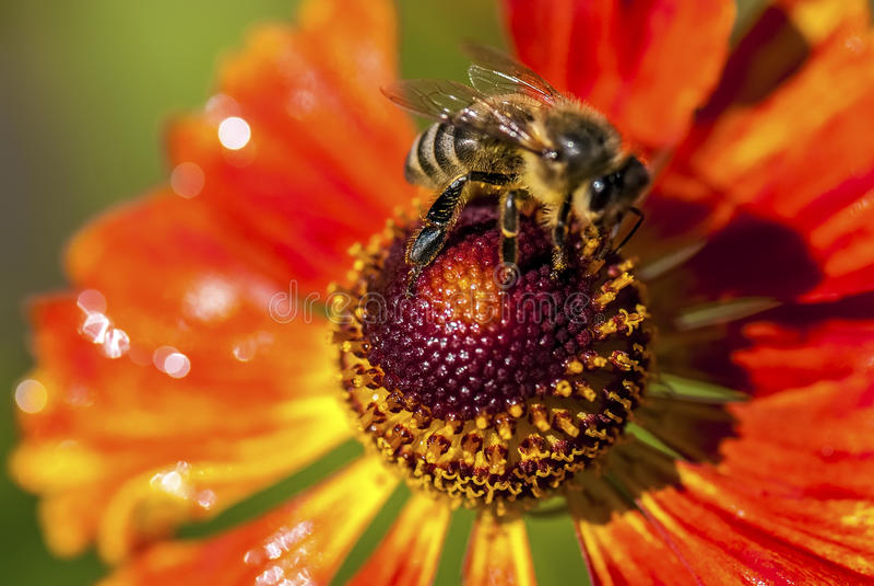 在蜂的宏观看法坐火黄金菊花 库存照片
