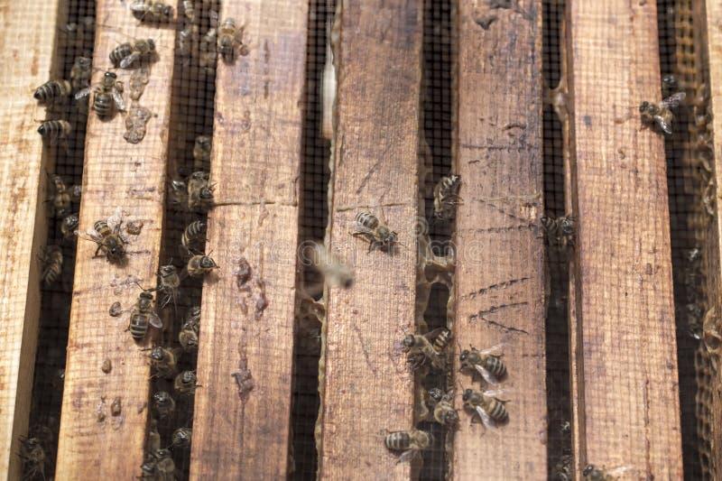 在蜂的蜂在一个晴天入蜂巢框架 免版税库存图片