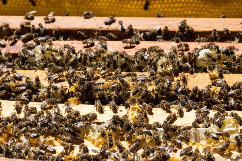 在蜂窝框架的蜜蜂在蜂箱 图库摄影
