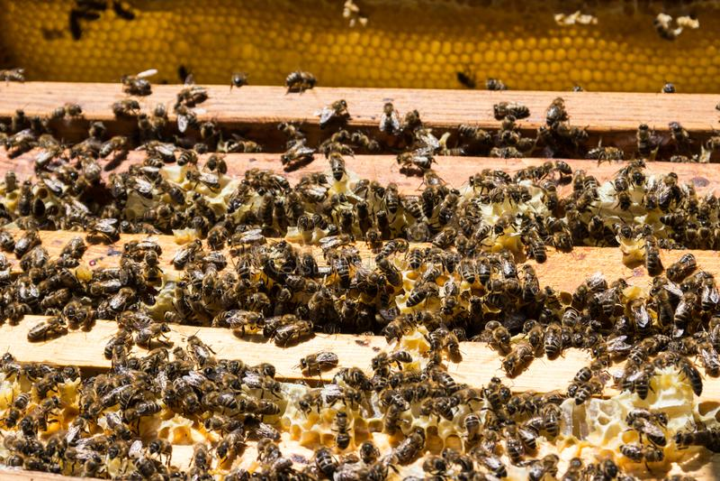 在蜂窝框架的蜜蜂在蜂箱 免版税库存图片