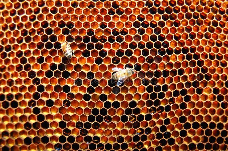 在蜂窝的二只蜂 库存照片