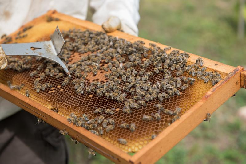 在蜂窝的蜂,蜂农 与从蜂房和蜂的木制框架采取的蜂窝 免版税库存照片
