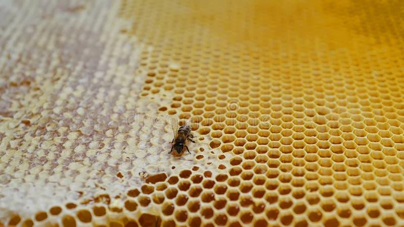 在蜂窝的蜂 免版税库存图片